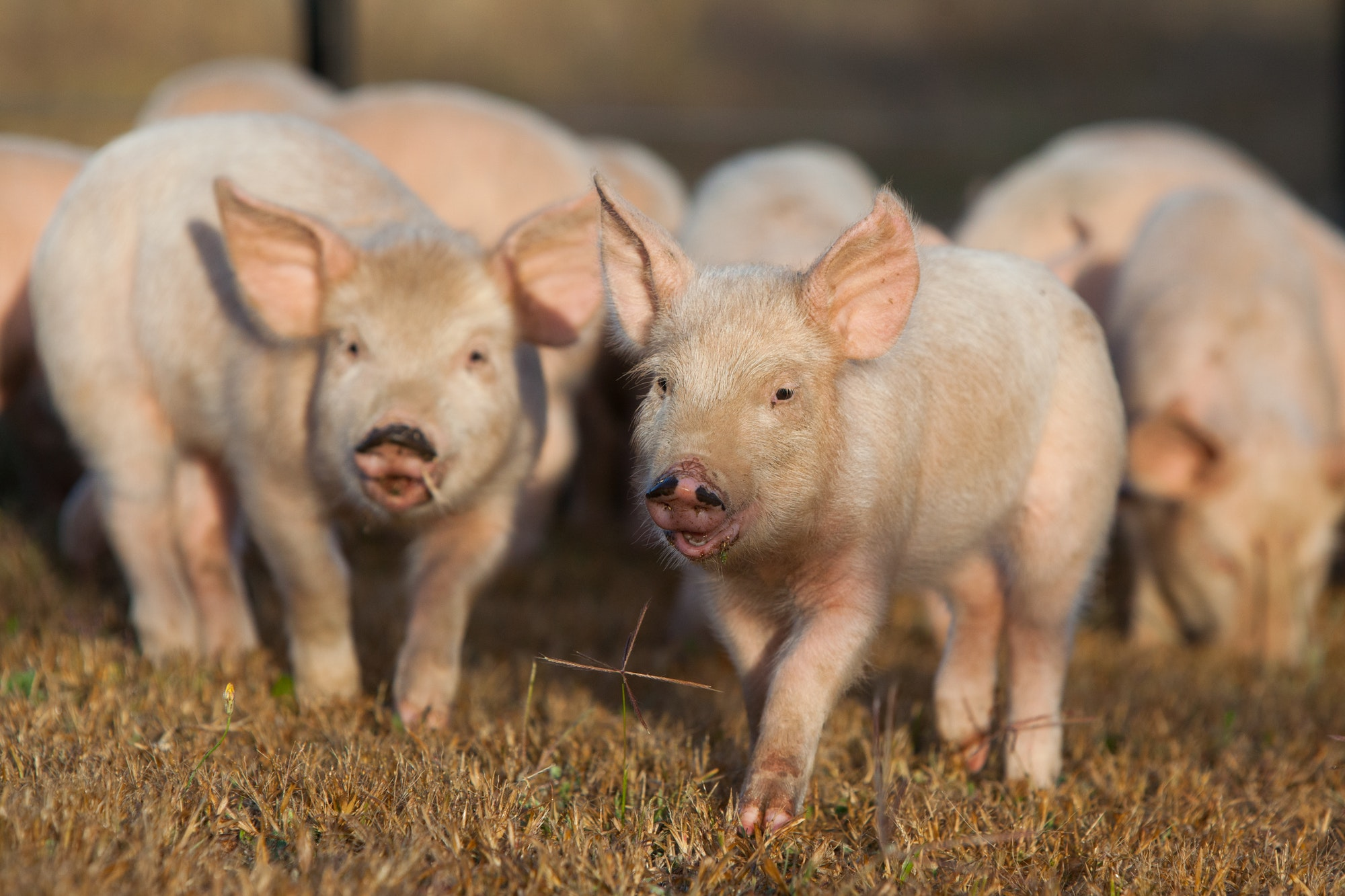 Piglets Running